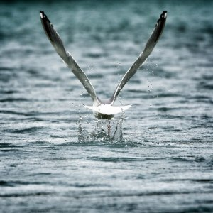 A gull takes flight on the Kenai River near Seward, Alaska.