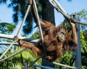 Chimpanzee Ropes Course