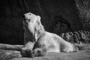 Polar Bear Noir