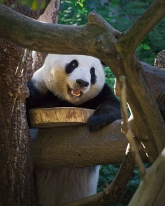 Hunting panda