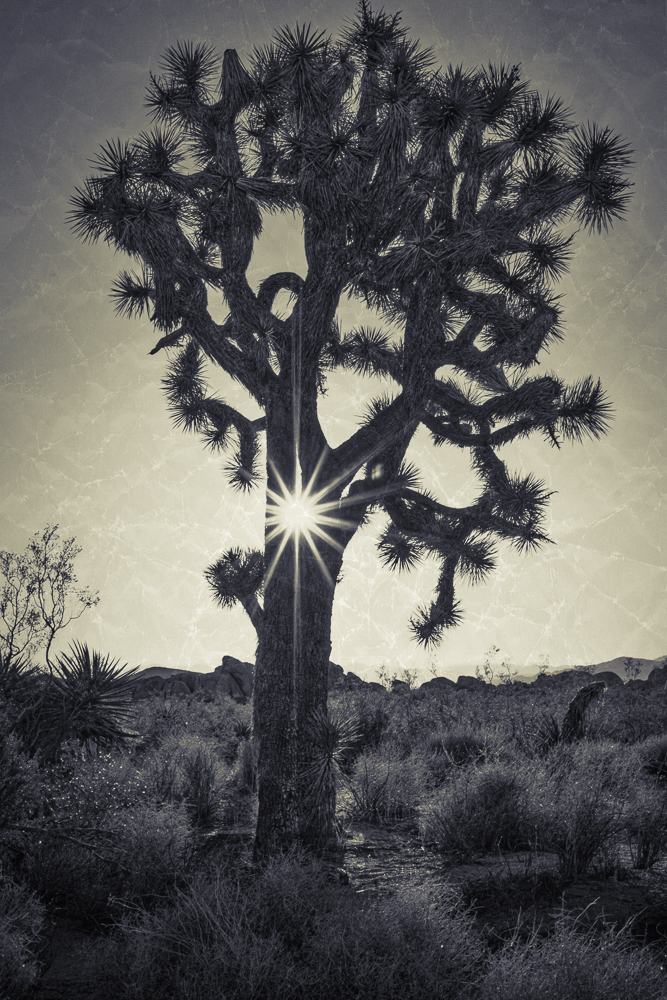 We got a little starburst happy on this trip. Michelle caught this great one in the middle of a well developed Joshua Tree. We had fun processing this as a split tone in MacPhun's Tonality Pro. Print Available.