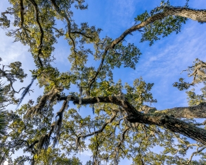 Looking up from our campsite into the trees covered in moss with a blue sky background.