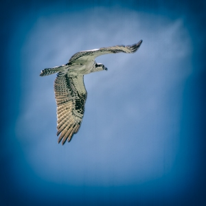 An osprey we encountered at