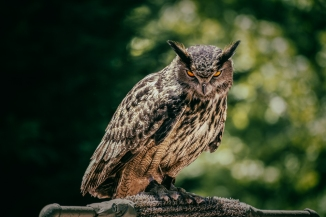 This rehabilitating owl's orange eyes can stare right through you. We love the Birds of Prey show at the festival.