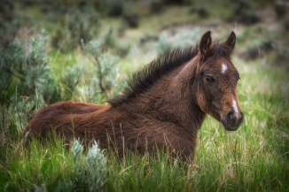 This colt was laying beside it's mother, having a snack on the grass.
