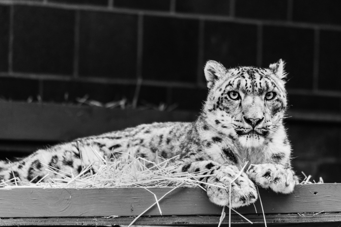 A beautiful snow leopard at Omaha's Henry Doorly Zoo & Aquarium.